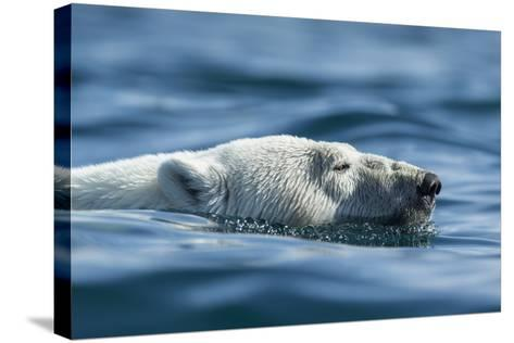 Canada, Nunavut, Repulse Bay, Polar Bear Swimming Near Harbour Islands-Paul Souders-Stretched Canvas Print