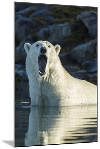 Canada, Nunavut, Repulse Bay, Polar Bears Yawning in Water-Paul Souders-Mounted Photographic Print