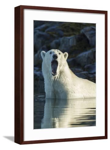 Canada, Nunavut, Repulse Bay, Polar Bears Yawning in Water-Paul Souders-Framed Art Print