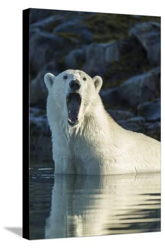 Canada, Nunavut, Repulse Bay, Polar Bears Yawning in Water-Paul Souders-Stretched Canvas Print