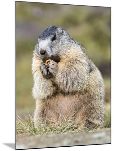 Alpine Marmot in the Hohe Tauern, Mount Grossglockner. Austria-Martin Zwick-Mounted Photographic Print