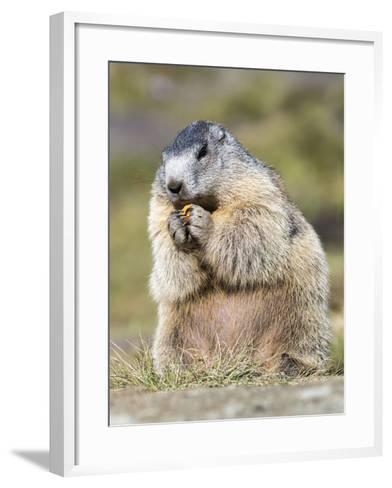 Alpine Marmot in the Hohe Tauern, Mount Grossglockner. Austria-Martin Zwick-Framed Art Print