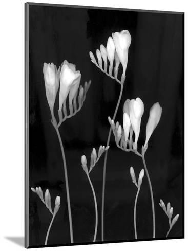Freesia-Anna Miller-Mounted Photographic Print
