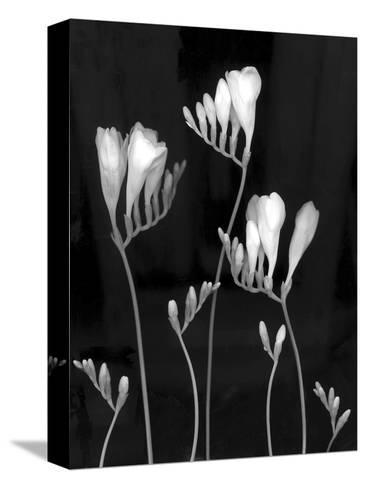Freesia-Anna Miller-Stretched Canvas Print