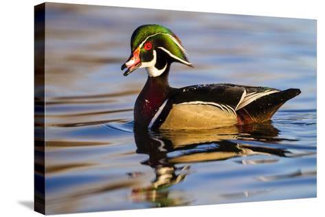 Wood Ducks (Aix Sponsa) Male in Pond-Larry Ditto-Stretched Canvas Print