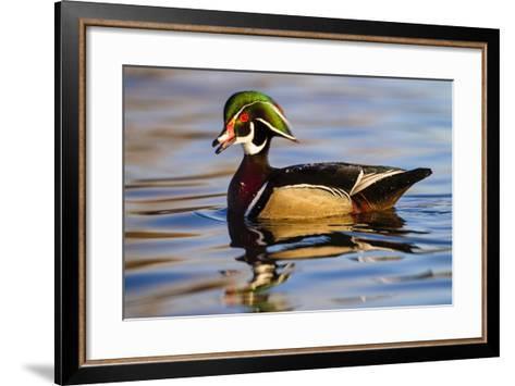 Wood Ducks (Aix Sponsa) Male in Pond-Larry Ditto-Framed Art Print