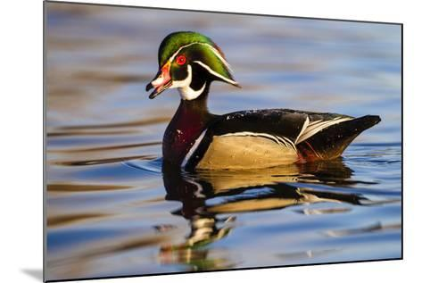Wood Ducks (Aix Sponsa) Male in Pond-Larry Ditto-Mounted Photographic Print