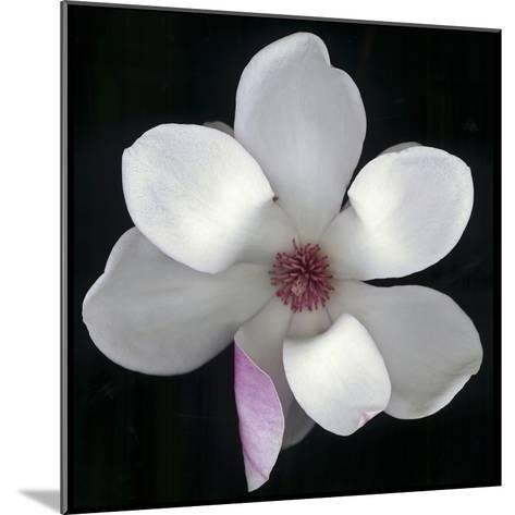 Magnolia Bloom on Black Background-Anna Miller-Mounted Photographic Print