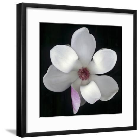 Magnolia Bloom on Black Background-Anna Miller-Framed Art Print