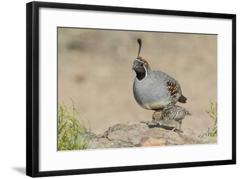 USA, Arizona, Amado. Male Gambel's Quail with Chick-Wendy Kaveney-Framed Art Print