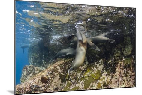 Galapagos Sea Lion Underwater, Galapagos, Ecuador-Pete Oxford-Mounted Photographic Print