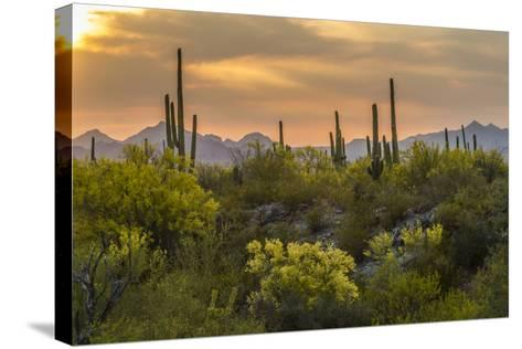USA, Arizona, Saguaro National Park. Desert Landscape-Cathy & Gordon Illg-Stretched Canvas Print