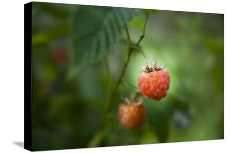 A Ripe, Red Raspberry Handing from the Vine-Sheila Haddad-Stretched Canvas Print