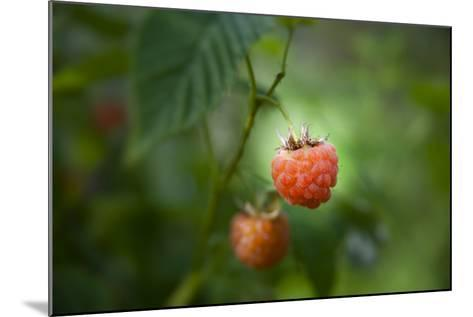 A Ripe, Red Raspberry Handing from the Vine-Sheila Haddad-Mounted Photographic Print
