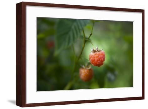 A Ripe, Red Raspberry Handing from the Vine-Sheila Haddad-Framed Art Print
