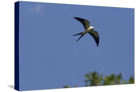 Swallow-Tailed Kite in Flight, Kissimmee Preserve SP, Florida-Maresa Pryor-Stretched Canvas Print