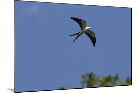 Swallow-Tailed Kite in Flight, Kissimmee Preserve SP, Florida-Maresa Pryor-Mounted Photographic Print