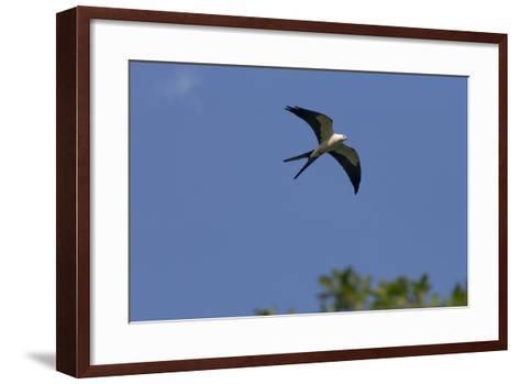 Swallow-Tailed Kite in Flight, Kissimmee Preserve SP, Florida-Maresa Pryor-Framed Art Print