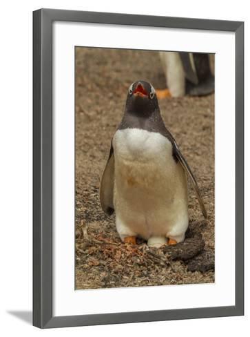 Falkland Islands, Saunders Island, Gentoo Penguin with Egg-Cathy & Gordon Illg-Framed Art Print