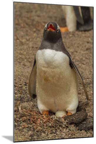 Falkland Islands, Saunders Island, Gentoo Penguin with Egg-Cathy & Gordon Illg-Mounted Photographic Print