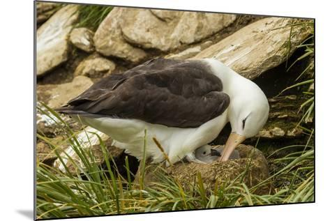 Falkland Islands, Saunders Island. Black-Browed Albatross with Chick-Cathy & Gordon Illg-Mounted Photographic Print
