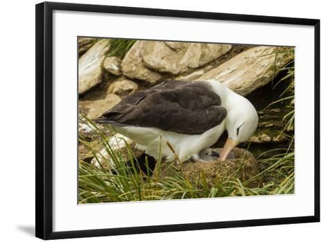 Falkland Islands, Saunders Island. Black-Browed Albatross with Chick-Cathy & Gordon Illg-Framed Art Print