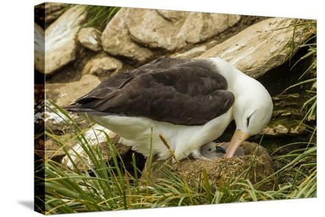 Falkland Islands, Saunders Island. Black-Browed Albatross with Chick-Cathy & Gordon Illg-Stretched Canvas Print