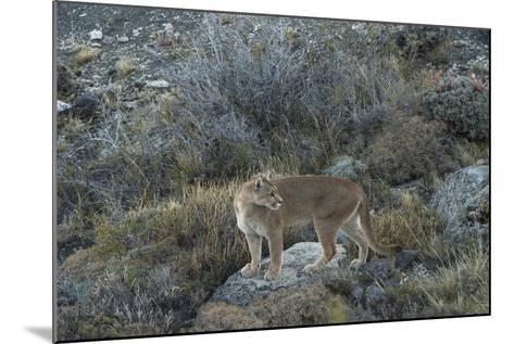 Puma Female, Lago Sarmiento, Torres del Paine NP, Patagonia, Chile-Pete Oxford-Mounted Photographic Print