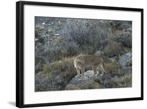 Puma Female, Lago Sarmiento, Torres del Paine NP, Patagonia, Chile-Pete Oxford-Framed Art Print