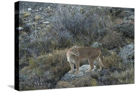 Puma Female, Lago Sarmiento, Torres del Paine NP, Patagonia, Chile-Pete Oxford-Stretched Canvas Print