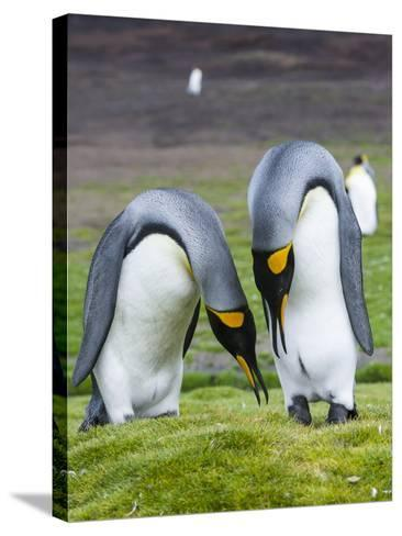 King Penguin, Falkland Islands, South Atlantic. Courtship Display-Martin Zwick-Stretched Canvas Print