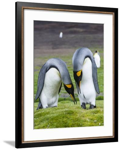 King Penguin, Falkland Islands, South Atlantic. Courtship Display-Martin Zwick-Framed Art Print