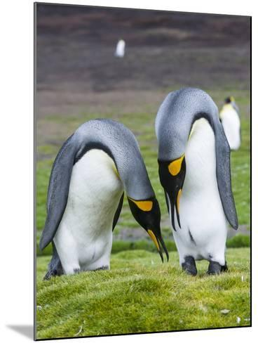 King Penguin, Falkland Islands, South Atlantic. Courtship Display-Martin Zwick-Mounted Photographic Print