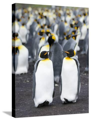 King Penguin, Falkland Islands, South Atlantic-Martin Zwick-Stretched Canvas Print