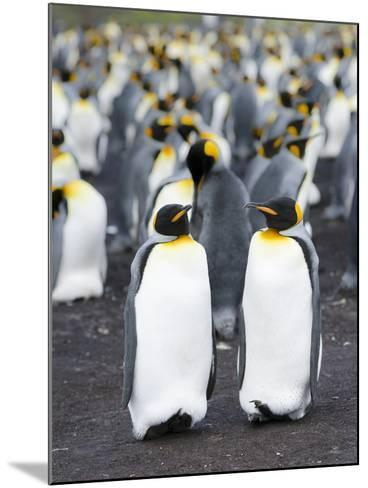 King Penguin, Falkland Islands, South Atlantic-Martin Zwick-Mounted Photographic Print