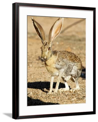 An Antelope Jackrabbit (Lepus Alleni) Alert for Danger-Richard Wright-Framed Art Print