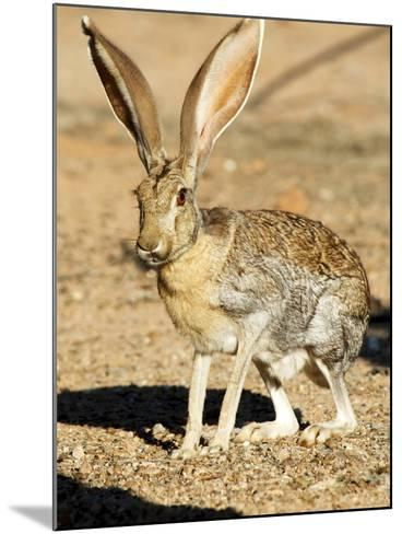 An Antelope Jackrabbit (Lepus Alleni) Alert for Danger-Richard Wright-Mounted Photographic Print