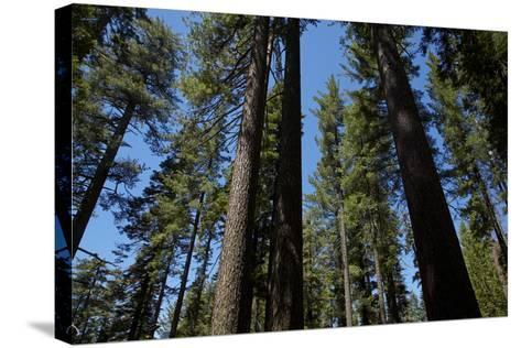 Trees at Tuolumne Sequoia Grove, Crane Flat, Yosemite NP, California-David Wall-Stretched Canvas Print