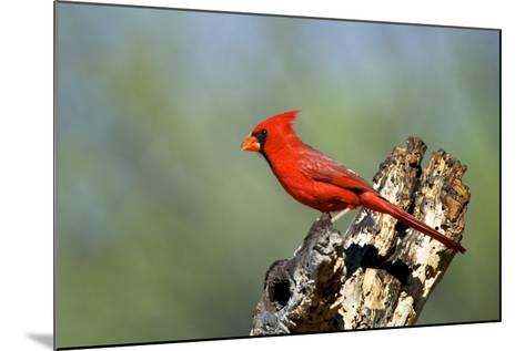 Northern Cardinals (Cardinalis Cardinalis) in the Family Cardinalidae-Richard Wright-Mounted Photographic Print