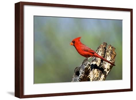 Northern Cardinals (Cardinalis Cardinalis) in the Family Cardinalidae-Richard Wright-Framed Art Print