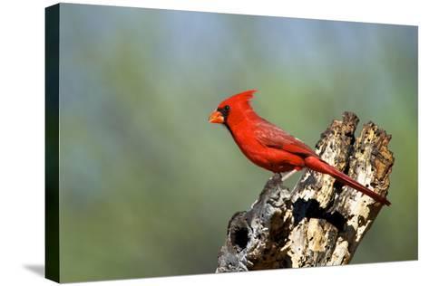Northern Cardinals (Cardinalis Cardinalis) in the Family Cardinalidae-Richard Wright-Stretched Canvas Print