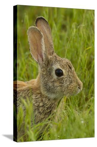 Colorado, Rocky Mountain Arsenal. Side Portrait of Cottontail Rabbit-Cathy & Gordon Illg-Stretched Canvas Print