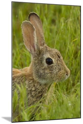 Colorado, Rocky Mountain Arsenal. Side Portrait of Cottontail Rabbit-Cathy & Gordon Illg-Mounted Photographic Print
