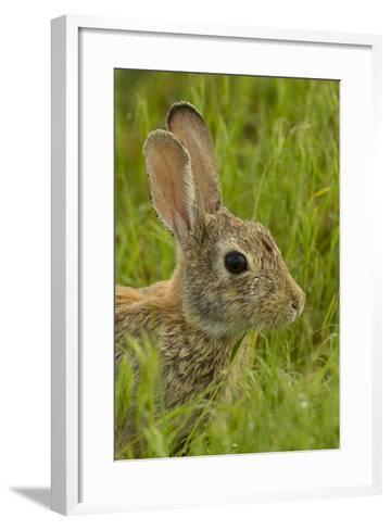 Colorado, Rocky Mountain Arsenal. Side Portrait of Cottontail Rabbit-Cathy & Gordon Illg-Framed Art Print