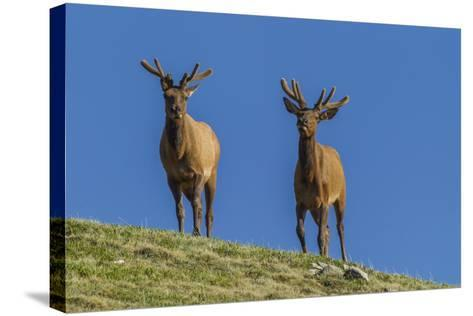 USA, Colorado, Rocky Mountain National Park. Bull Elks on Ridge-Cathy & Gordon Illg-Stretched Canvas Print