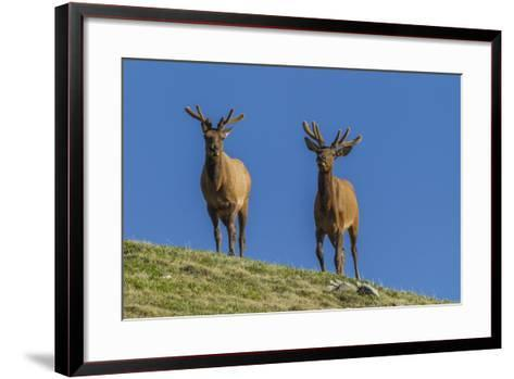 USA, Colorado, Rocky Mountain National Park. Bull Elks on Ridge-Cathy & Gordon Illg-Framed Art Print