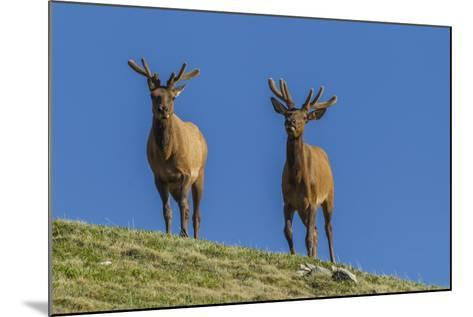 USA, Colorado, Rocky Mountain National Park. Bull Elks on Ridge-Cathy & Gordon Illg-Mounted Photographic Print