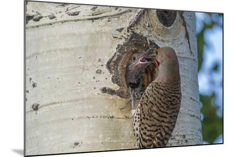USA, Colorado, Rocky Mountain NP. Red-Shafted Flicker Feeds Nestling-Cathy & Gordon Illg-Mounted Photographic Print