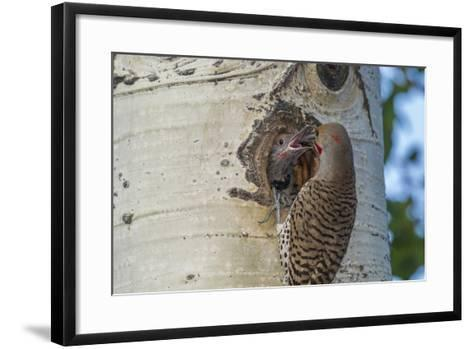 USA, Colorado, Rocky Mountain NP. Red-Shafted Flicker Feeds Nestling-Cathy & Gordon Illg-Framed Art Print