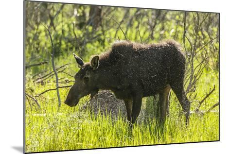 USA, Colorado, Rocky Mountain NP. Female Moose Shaking Off Water-Cathy & Gordon Illg-Mounted Photographic Print